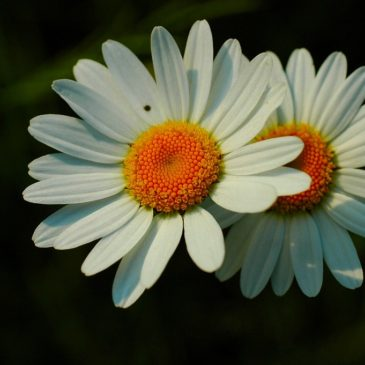 Margheritona bianca