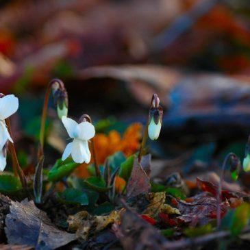 Viola bianca