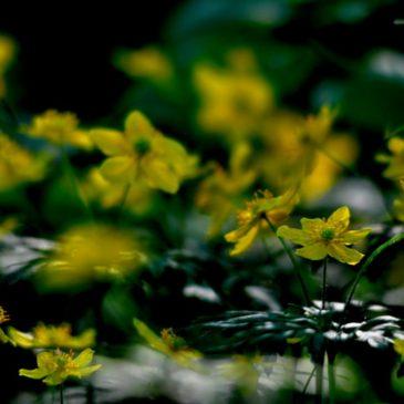 Anemone gialla