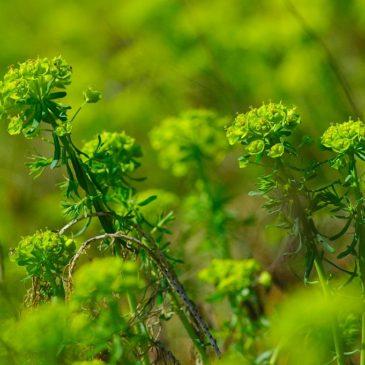 Euforbia cipressina