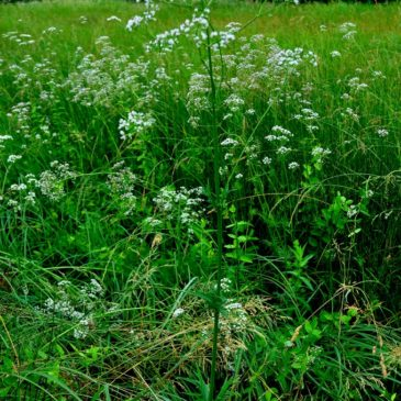 Valeriana Officinale