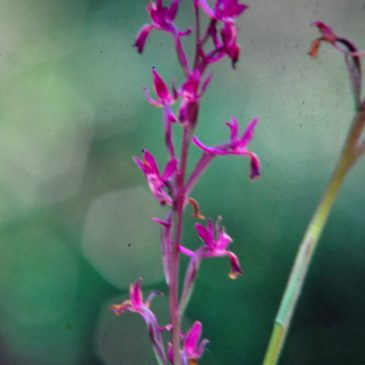 Orchidea Acquatica