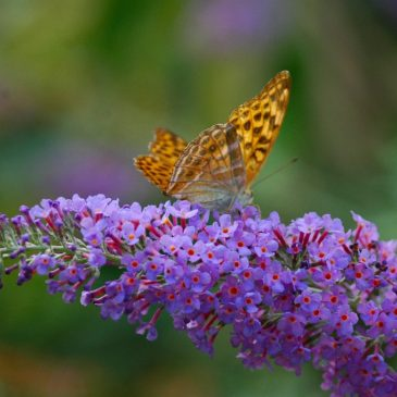 Buddleia di David